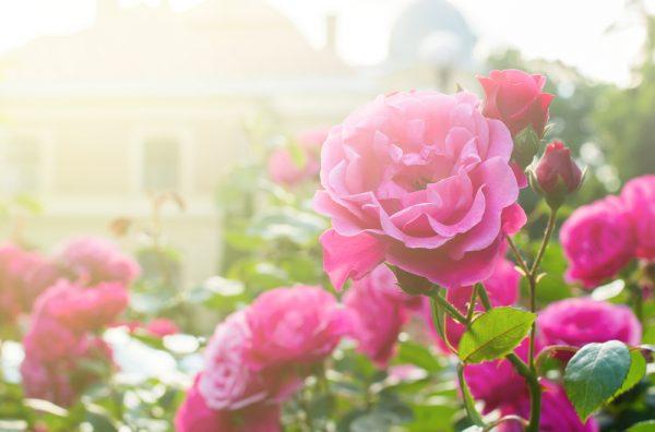 Jak pielęgnować róże w ogrodzie?